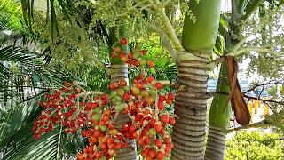 Syagrus romanzoffiana (Queen Palm) palm tree red berries bahamas caribbean