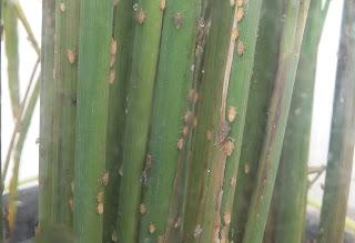 15 Fakta menarik hama Wereng Batang Coklat (Nilaparvata lugens Stal.)