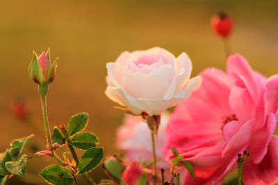 Valentine Roses Photo