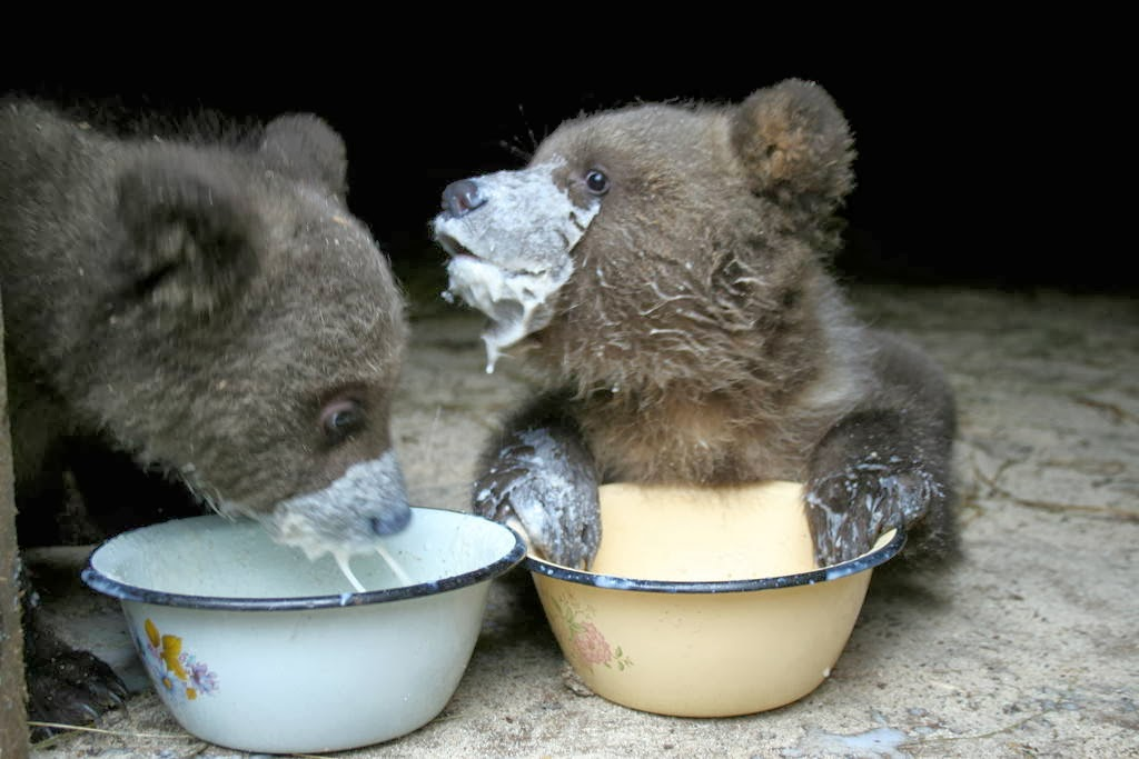 Funny animals of the week - 14 February 2014 (40 pics), two baby bears drink milk