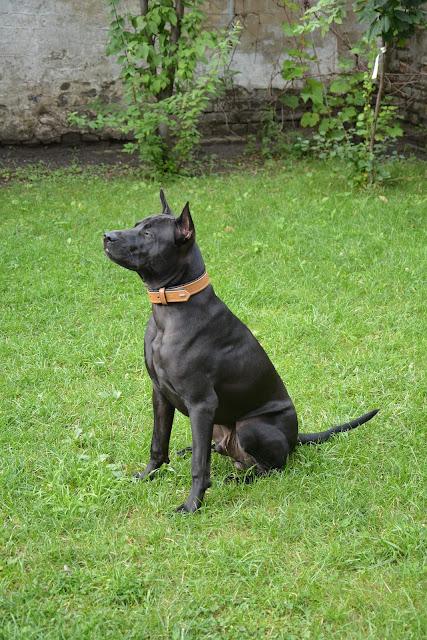 Asian dog breeds, Asian pets