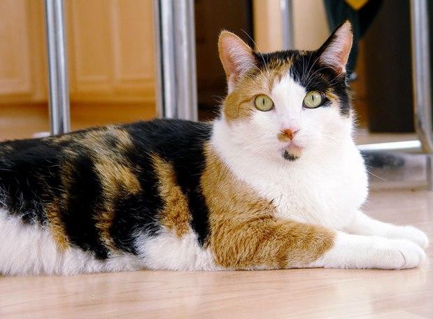 Download 67+  Gambar Kucing Anggora Hamil Lucu Gratis