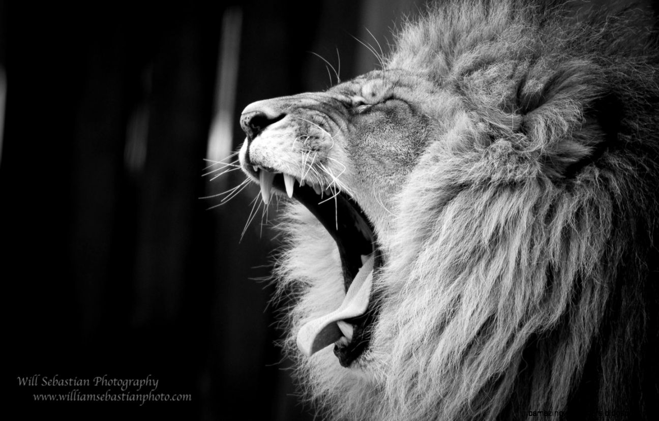 Lion Roar Wallpaper Black And White | Amazing Wallpapers