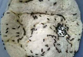 bahaya semut jepang bagi usus