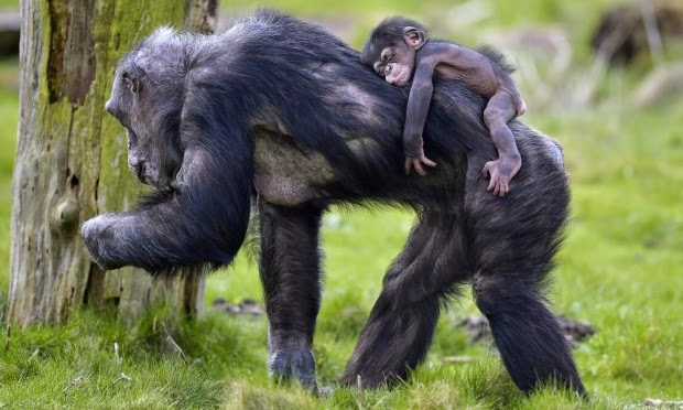 Chimpanzees granted 'legal persons' status to defend their rights in court