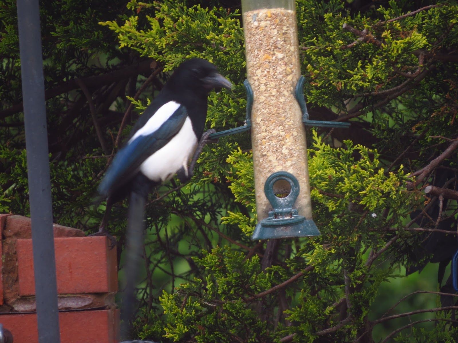 THE WESSEX REIVER: Magpie May