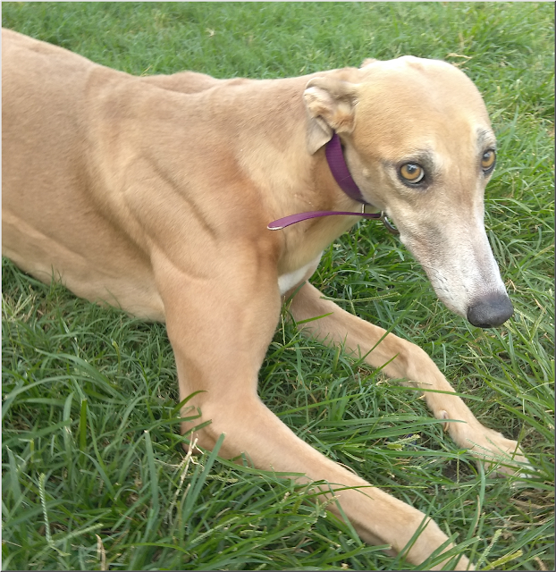 Molly at Friends of Greyhounds