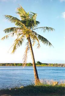 gambar pohon kelapa  Indonesiadalamtulisan  Terbaru 2014