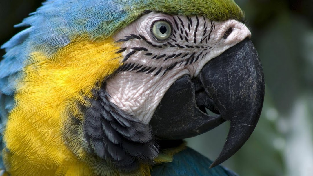 Parrot Macro HD Wallpaper