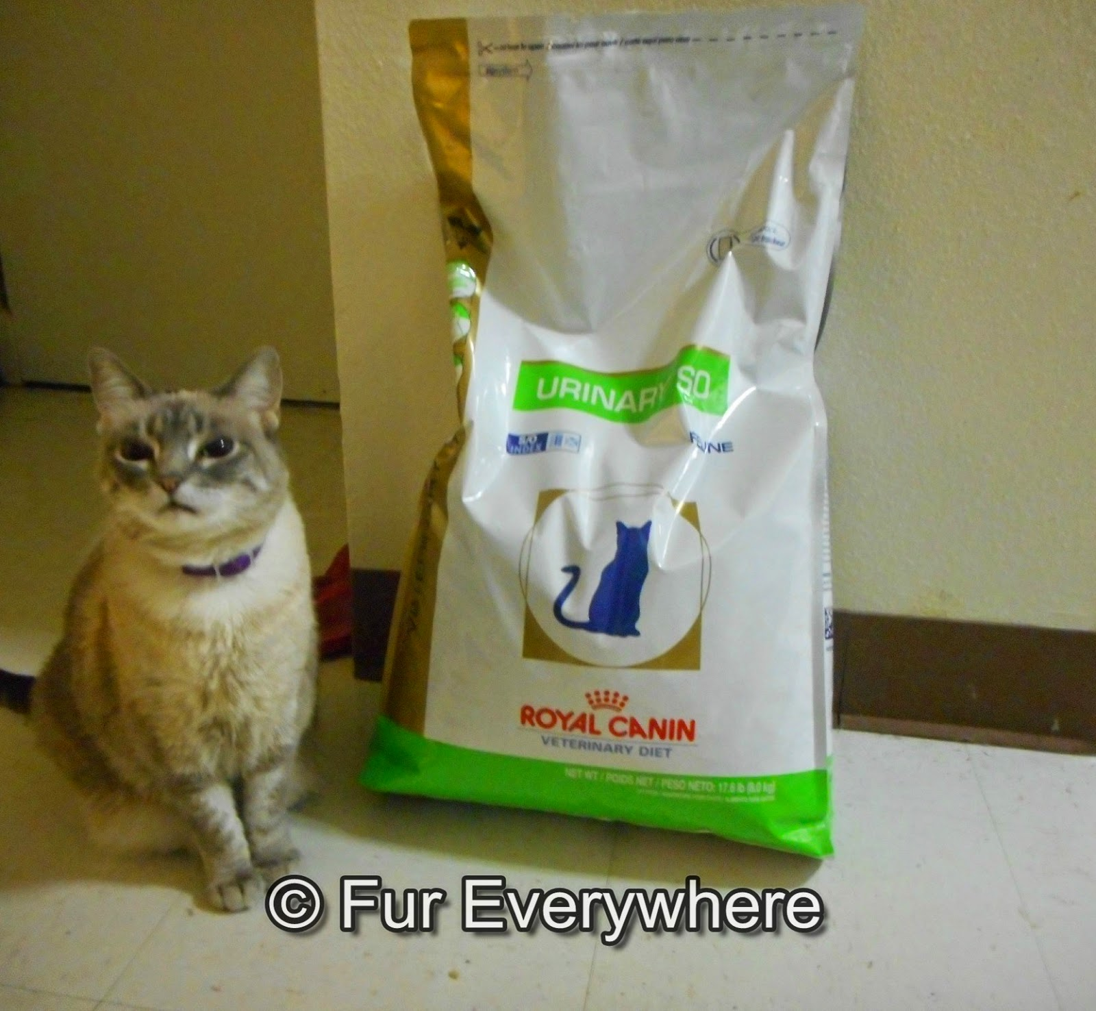 Siamese cat with Royal Canin prescription SO dry cat food