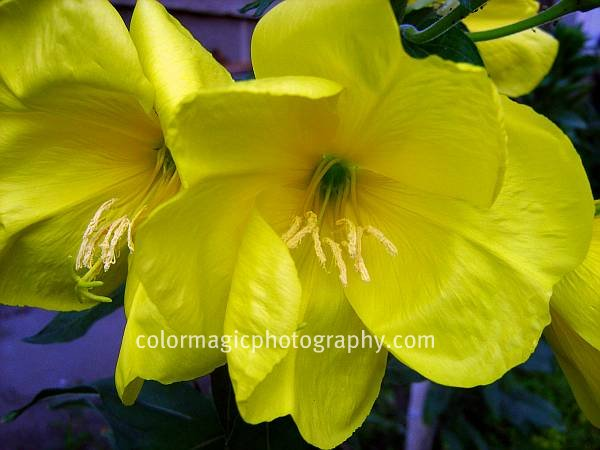 Evening primrose close-up