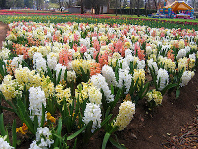 field of mixed coloured flowering hyacinths