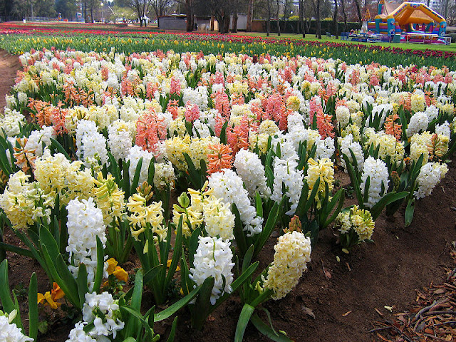 Field grown hyacinth bulbs in mixed blooms