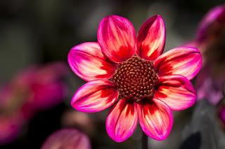 bunga dahlia ungu