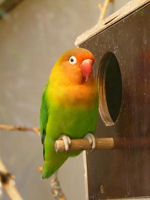 cara berternak lovebird