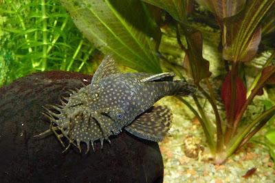 bristlenose ikan hias air tawar