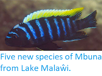 http://sciencythoughts.blogspot.co.uk/2013/07/five-new-species-of-mbuna-from-lake.html