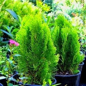 Hasil gambar untuk deskripsi tanaman cemara kipas