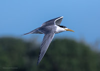 Swift Tern in Flight Woodbridge Island, Cape Town - Canon EOS 7D Mark II  Copyright Vernon Chalmers
