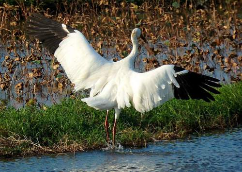 Indian birds - Siberian crane - Leucogeranus leucogeranus