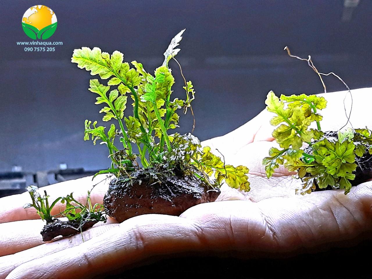Cây thủy sinh dương xỉ lá ổi từ nhỏ đến lớn