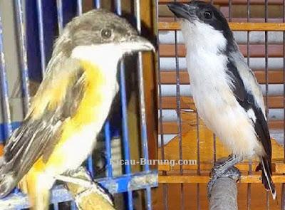 cara merawat burung cendet mabung