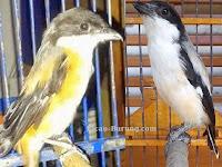Cara Merawat Burung Cendet Mabung Atau Nyulam