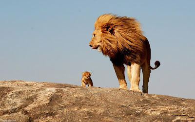 lion dad with lion child