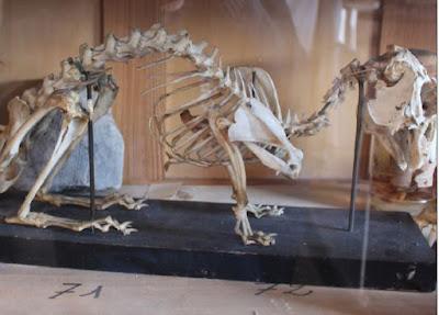 Musée scolaire : squelette de lapin