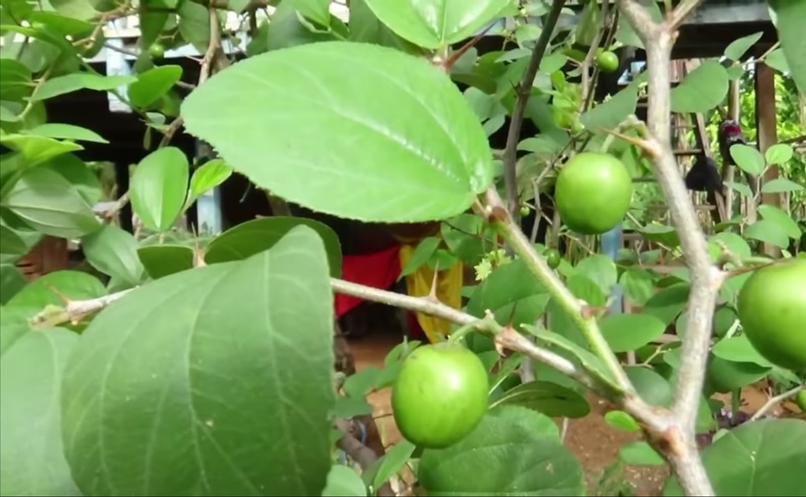 87+ Gambar Pohon Bidara Atau Apel India