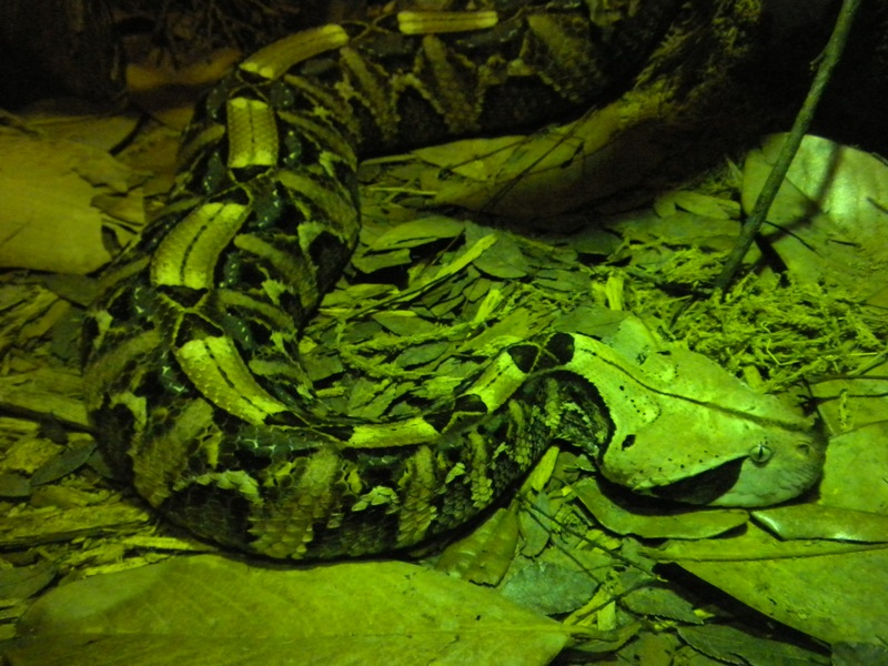 The Zoo Review: Species Fact Profile: Gaboon Viper (Bitis