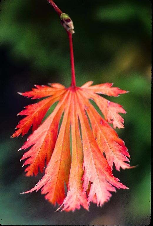 Flora Wonder Blog Summer Maples