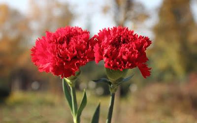 """Canartion - Hoa cẩm chướng """"vạn người mê"""""""