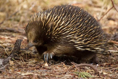 Echidna - animals start with letter E