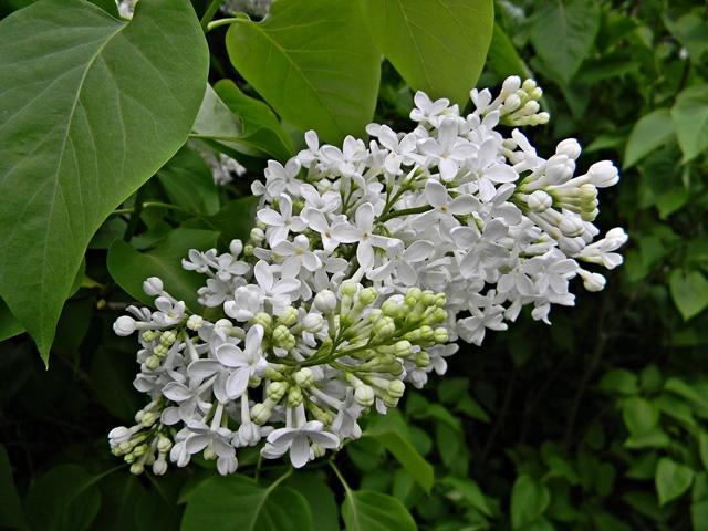 kwiat, lilak, biały, liście