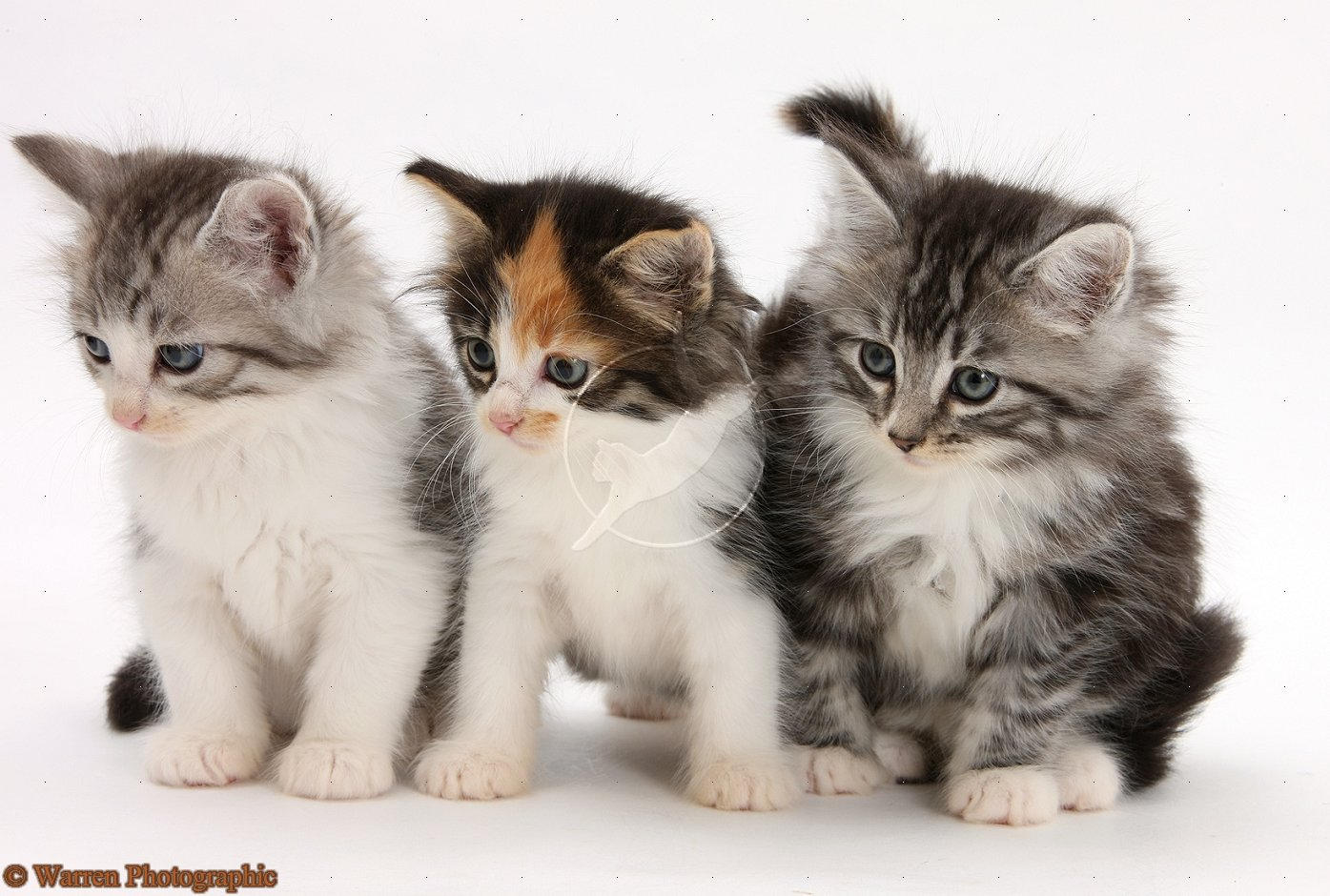 Best Wallpapers Zone Maine Coon Kittens Pictures And Wallpapers