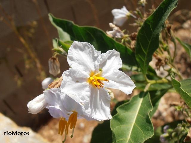 Flor de NARANJILLO Solanum bonariense