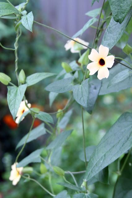 black eyed susan vine, Autumn, garden, Anne Butera, My Giant Strawberry