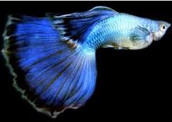 Jenis Ikan Guppy Peacock
