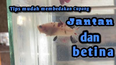 ikan cupang kota serang icalofish.blogspot.com