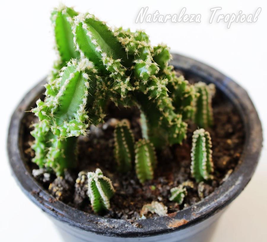 Otra foto del cactus conocido como Castillo de Hadas en maceta, Acanthocereus tetragonus fairy castle
