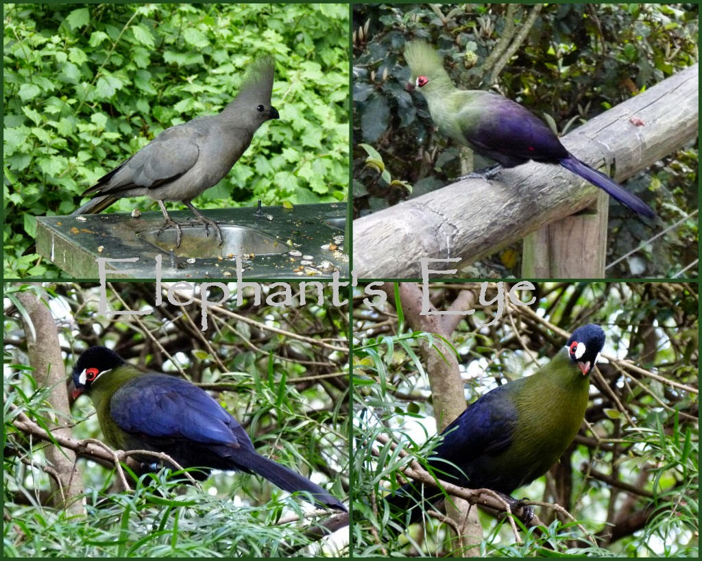Grey Loerie (South Africa) says Go-Away Buffoni Green Turaco (extreme West Africa) Hartlaub's Turaco (East Africa)