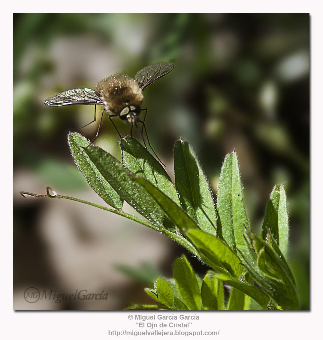 Díptera Peluda sobre Planta Pilosa