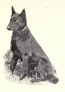 Australian Kelpie - Breed Profile   Australian Dog Lover