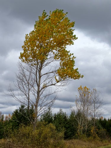 aspen tree in the wind