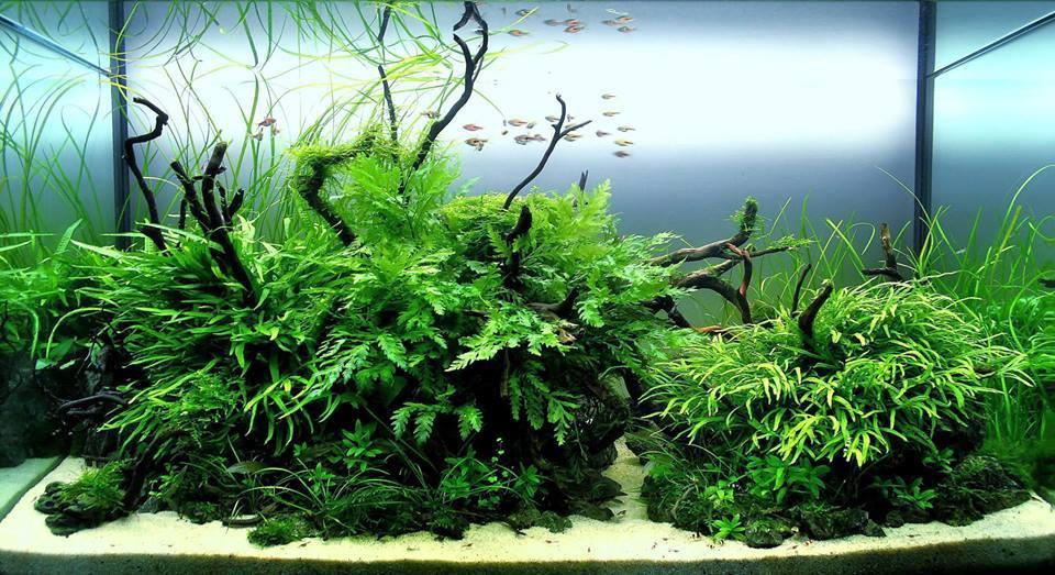 Dương xỉ trident, dương xỉ châu phi, dương xỉ lá kim trong bố cục thủy sinh 2 quả đồi
