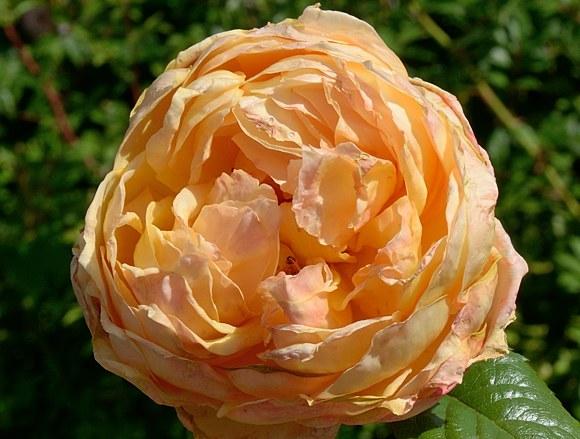 Capri сорт розы Тантау фото купить саженцы Минск питомник
