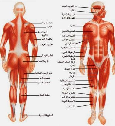 système squelettique