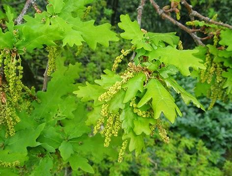 Flores de grosellero negro (Ribes niugrum)