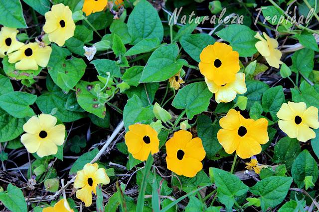 La planta trepadora conocida popularmente como Ojo de Poeta (Thunbergia alata) es muy popular como planta de interior.